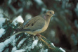 Mourning dove in snowy pine