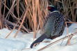 Pheasant in snowy cattails / Photo by Gary Will