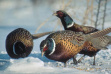 Three pheasants feeding in snow / Photo by Gary Will