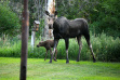 hailey_cow_and_calf_moose_july_2021