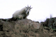 mountain goat in Hells Canyon September 2008