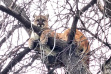 adult_lion_in_tree