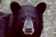 bear_black_head_shot