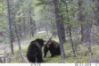 grizzly bear fighting