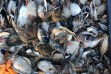 cholera outbreak near Parma, waterfowl, ducks, Southwest Region,