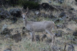 White-tailed deer, whitetail, Riggins area, Unit 18, Clearwater Region