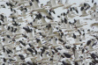 snow geese flock w95[.jpeg