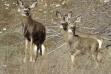mule deer 1170.jpeg