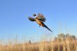 flushing pheasant_14a2.jpeg