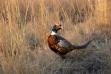 pheasant_a96.jpeg