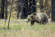 Grizzly bear in Yellowstone Park