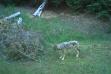 wolf game camerawqe509uw.jpg