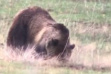 Island Park Grizzly