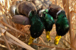 Duck Hunting.jpeg
