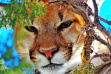 mountain_lion
