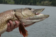 Northern Pike thumbnail