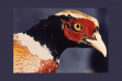 rn_pheasant_for_web
