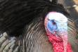 turkey_tom_by_joe_foster
