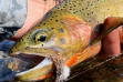 westslope_cutthroat_by_mWestslope Cutthroat Trout in hand thumbnail