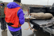 A Fish and Game staff member checks a mule deer buck lying in the back of a truck with the tailgate down