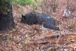 Dead Grizzly Bear 818 10/28/16