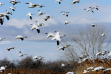 a flock of snow geese in flight October 2009