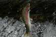 leaping_rainbow_trout_big_wood_river_may_2020_thumbnail