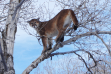 mountain lion in a tree January 2008
