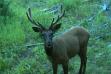 Elk camera trap