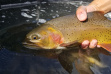 South Fork Yellowtone cutthroat trout