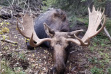 Poached Bull Moose Tripod.jpeg