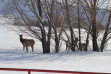 elk, winter, winter feeding