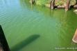 Boyer Slough harmful algae bloom