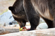 Discovery Center Bear eating apples