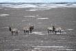 Upper Snake elk 2018 helicopter survey