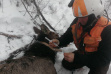 elk_capture_collar_16-1
