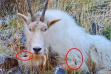 goat_photo_1