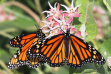 adult monarch butterflies sip nectar from the flowers of showy milkweed