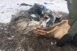 Bull Elk rescued from hay tarp