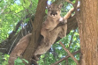 Mountain lion in tree in public park in Banida, Idaho
