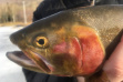Henrys Lake Cutthroat
