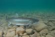 lake_trout