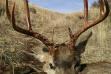 mule_deer_1