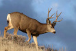 mule_deer_buck