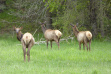 cow elk, panhandle, elk, big game,