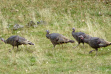 turkeys, spring, Southwest Region