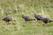 turkeys, spring, Southwest Region