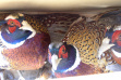 pheasants for release