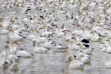snow geese, pond, Roswell Marsh, Southwest Region