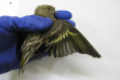 pine-siskin_cdfw_wildlife_investigations_lab